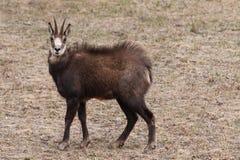 Gamuza (rupicapra del Rupicapra) en las montañas Imagen de archivo libre de regalías
