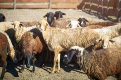 Ganadería, manada de ovejas imagen de archivo