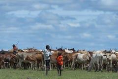 Ganaderos jovenes que reúnen la manada del ganado africano fotografía de archivo