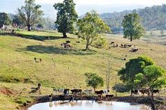 Ganado australiano de la granja que pasta pastos del paisaje imponente del país Foto de archivo