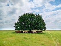 Ganado bajo un árbol fotografía de archivo