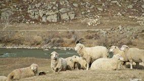 Ganado - corderos beige - camine y coma en un área montañosa almacen de metraje de vídeo