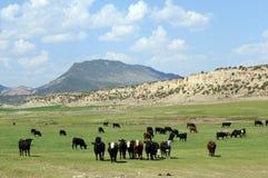 Ganado curioso Utah Imagenes de archivo