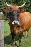 Ganado de cuernos de Brown, vaca, cuernos foto de archivo libre de regalías