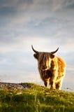 Ganado de Galloway que se coloca en puesta del sol Fotografía de archivo libre de regalías