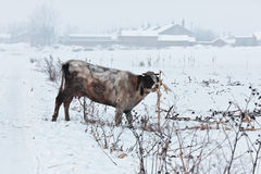 Ganado de la aldea de la nieve fotografía de archivo libre de regalías