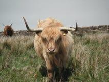 Ganado de la montaña en las fronteras de Exmoor Somerset Devon Imagenes de archivo