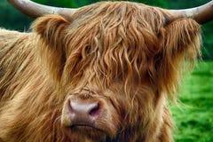 Ganado de la montaña, Kilmahog, Escocia Imagen de archivo libre de regalías