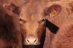 Ganado de la vaca de cuernos cortos Fotos de archivo libres de regalías