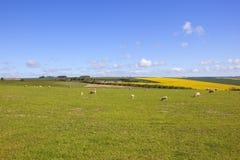 Ganado de los wolds de Yorkshire en primavera Fotografía de archivo