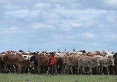 Ganado de Masai Mara que pasta en hierba verde con el cielo azul por encima imagen de archivo libre de regalías