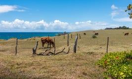 Ganado de Maui Imagen de archivo libre de regalías