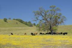 Ganado debajo del árbol apagado de la ruta 58 al oeste de Bakersfield, CA en Shell Creek Road en primavera Fotografía de archivo libre de regalías