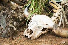 Ganado del cráneo, restos, esqueleto Fotos de archivo