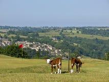 Ganado en el campo común de Minchinhampton, Gloucestershire, Reino Unido fotografía de archivo