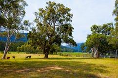 Ganado en el campo debajo de árboles grandes, Australia Foto de archivo