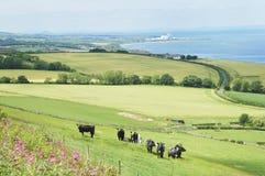 Ganado en el campo y la costa este Berwickshire imagenes de archivo