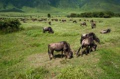 Ganado en el cráter de Ngorongoro, Tanzania Imagen de archivo