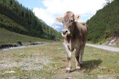 Ganado en el valle de Lechtal Imagen de archivo