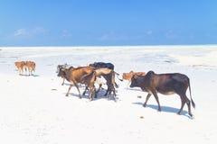 Ganado en la playa de Paje, Zanzíbar Foto de archivo