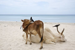 Ganado en la playa de Uppuveli, Sri Lanka Imagenes de archivo