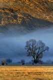 Ganado en niebla de la mañana Imagen de archivo libre de regalías