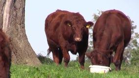 Ganado en un campo en granja en Co Antrim Irlanda del Norte almacen de video