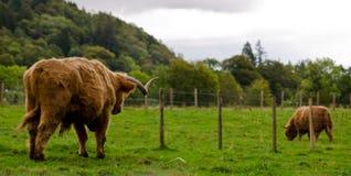 Ganado escocés de la montaña Fotos de archivo libres de regalías