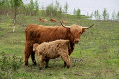 Ganado escocés de la montaña Foto de archivo libre de regalías