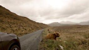 Ganado escocés de la montaña al lado del camino de la sola pista en la isla de Skye - Escocia metrajes