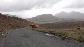 Ganado escocés de la montaña al lado del camino de la sola pista en la isla de Skye - Escocia almacen de video