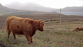 Ganado escocés de la montaña al lado del camino de la sola pista en la isla de Skye - Escocia almacen de metraje de vídeo