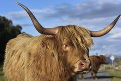 Ganado escocés de la montaña en la luz caliente de la tarde, retrato de una vaca linda, montañas, Escocia, Reino Unido foto de archivo