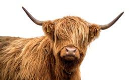 Ganado escocés de la montaña en un fondo blanco foto de archivo