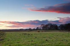 (Ganado escocés del ganado de la montaña) en pasto Foto de archivo libre de regalías