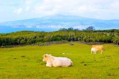 Ganado familia, vaca de la madre de la cría del becerro, bueyes, animales del campo en el salvaje, isla de Azores - de Pico fotos de archivo