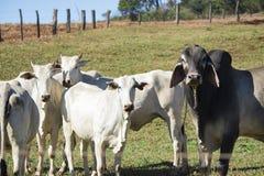 Ganado - grupo de vacas en granja Foto de archivo libre de regalías