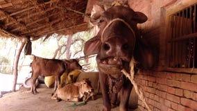 Ganado indio que pasta, masticando, búfalo negro que mastica el primer de la comida almacen de video