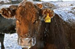 Ganado la vaca en condiciones hivernales fotografía de archivo libre de regalías