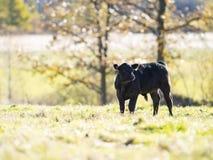 Ganado negro de Angus en un pasto en último otoño fotos de archivo libres de regalías
