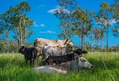 Ganado que descansa en la sombra, alto país de Kilkivan, Queensland, Australia Imágenes de archivo libres de regalías