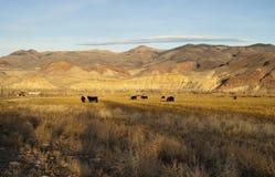 Ganado que pasta el Lan occidental de la montaña de los animales de la ganadería del rancho imagenes de archivo