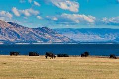 Ganado que pasta en el lago Hawea, montan@as meridionales, NZ Imagenes de archivo