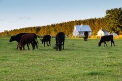 Ganado que pasta en recinto rural pacífico y casa de madera blanca patrimonial foto de archivo libre de regalías