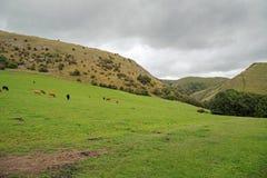 Ganado que pasta en un paisaje montañoso en Staffordshire, Inglaterra Fotografía de archivo libre de regalías