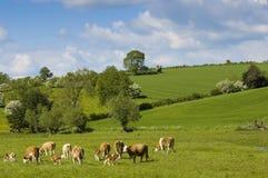 Ganado sano del ganado, rural idílico, Reino Unido Fotografía de archivo