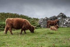 Ganado típico de las montañas en Escocia Foto de archivo libre de regalías
