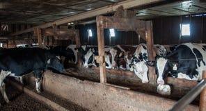 Ganado una granja lechera Imagen de archivo libre de regalías