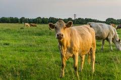 Ganado - vacas fotos de archivo libres de regalías