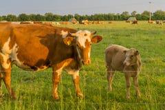 Ganado - vacas Imagenes de archivo